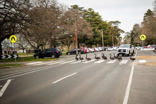 A car stops for a group of swans to cross the road at lake Wendouree on September 10, 2021 in Ballarat, Australia. (Photo by Darrian Traynor/Getty Images)