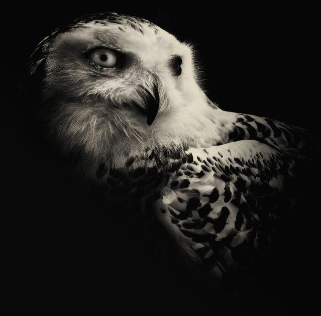 Snowy Owl. (Photo by Alex Teuscher/BNPS)