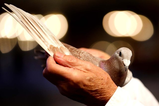 """John RoBilliard, of Bodmin, Cornwall, poses with his pigeon """"Roquaine Princess"""" which won the coveted Supreme Champion at The British Homing World Show of the year at The Winter Gardens in Blackpool, England, on January 19, 2014. Pigeon owners from across Europe gathered to find the Supreme Show Champion bird. (Photo by Christopher Furlong/Getty Images)"""