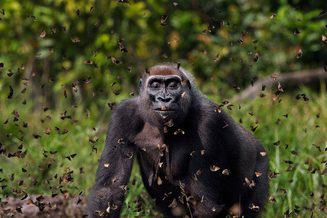 """Grand prize: Anup Shah, UK. A female western lowland gorilla, Malui, walks through a cloud of butterflies she has disturbed in Bai Hokou, Dzanga Sangha special dense forest reserve, Central African Republic. """"I like photos that keep dragging you in. The face. Tolerance or bliss. It's really hard to tell and the insects draw you there"""", said the celebrity judge Ben Folds. (Photo by Anup Shah/TNC Photo Contest 2021)"""