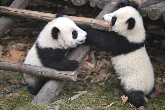 Giant pandas enjoy themselves at the Chengdu Research Base of Giant Panda Breeding on January 28, 2014 in Chengdu, Sichuan Province of China. (Photo by ChinaFotoPress/ChinaFotoPress via Getty Images)