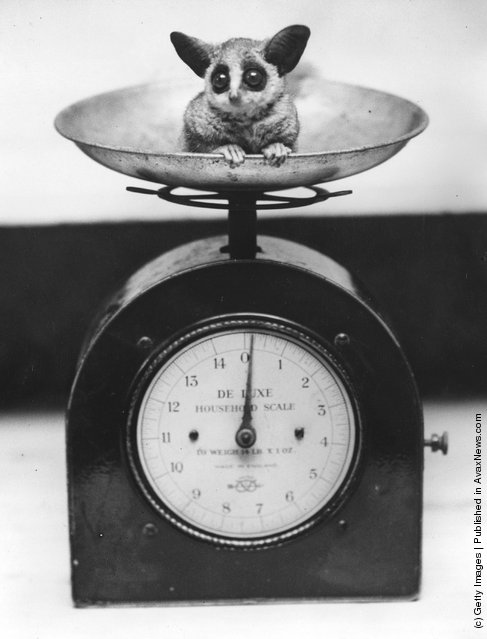 A baby bush-baby in a set of scales at London Zoo shortly after birth, 1938