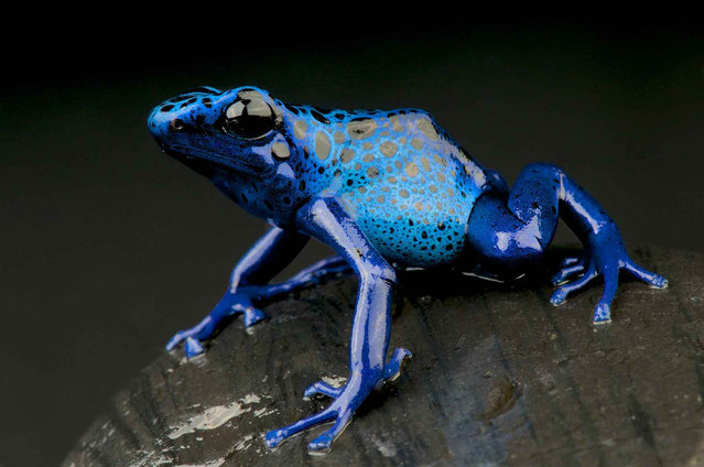 Blue poison-dart frog, (Dendrobates tinctorius azureus, Suriname). (Photo by Matthijs Kuijpers/The Guardian)