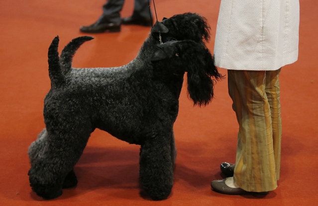 Two Kerry Blue Terriers are displayed at the World Dog Show in Rho, near Milan, Italy, Saturday, June 13, 2015.  (AP Photo/Luca Bruno)