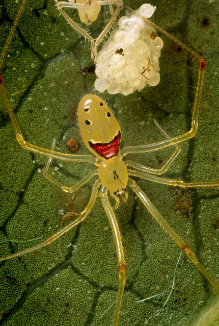Meet the only spider in the world guaranteed to bring a smile to your face – the happy face spider. The tiny creature was given its name due to bizarre markings on its body which resemble a big smiley face. Meet the only spider in the world guaranteed to bring a smile to your face – the Happy Face Spider. The tiny creature was given its name due to bizarre markings on its body which resemble a big smiley face. (Photo by Darlyne Murawski/Caters News/The Grosby Group)