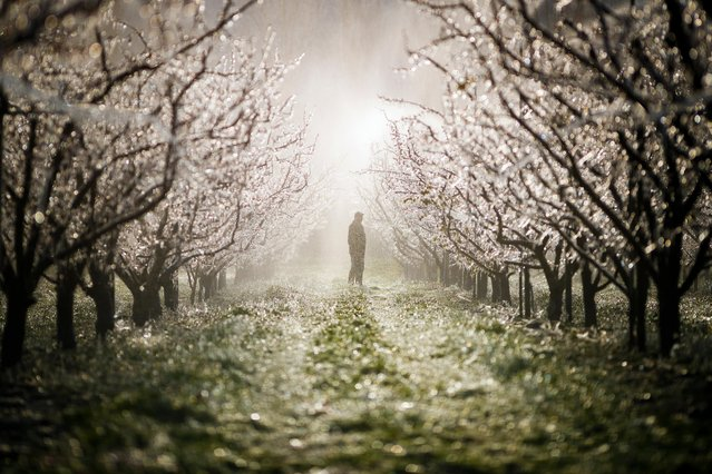 A man checks the system used to spray water in apricot orchards to protect blooming buds with a thin layer of ice, in the midst of the Swiss Alps, in Martigny, Canton of Valais, Switzerland, 05 April 2019. With an unusually low temperature forecast for the season, fruit growers try to protect their buds from frost damage with two different means, icy water or large candles. (Photo by Valentin Flauraud/EPA/EFE)