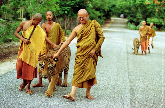 Monks take a tiger out of its cage for an afternoon walk at the Wat Pa Luangta Bua monastery in Kanchanaburi, Thailand