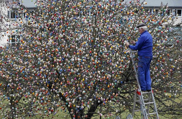 German pensioner Volker Kraft uses a step ladder as he decorates an apple tree with Easter eggs in the garden of his summerhouse, in the eastern German town of Saalfeld, March 19, 2014. (Photo by Fabrizio Bensch/Reuters)