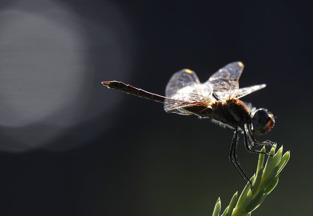"""A dragonfly perches on a pine branch at the """"Library of trees"""" public park in Milan, Italy, Tuesday, July 30, 2019. (Photo by Luca Bruno/AP Photo)"""