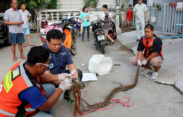 In this image made from video, rescue workers prepare to remove a python after they released it from a toilet outside a house in Chachoengsao, 90kms. (56 miles) east of the capital Bangkok, Wednesday, May 25, 2016. When Attaporn Boonmakchuay squatted in his toilet early Wednesday morning he probably didn't think that a snake would surface through the plumbing and latch its fangs onto his dangling pen*s, the 38-year-old then fought for the 30 minutes with the aid of his wife and neighbor to free his manhood from the jaws of a three-meter (10 foot long) python. (Photo by BBTV CH7 Thailand via AP Photo)