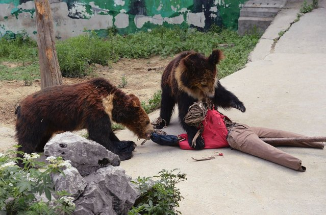 "Two brown bears attack a ""visitor"" dummy made of straw, during a security drill to test the capability of emergency handling at a zoo in Chengdu, Sichuan province June 19, 2014. The drill on Thursday demonstrated a mock situation of two visitors falling into the enclosure of brown bears, according to local media. (Photo by Reuters/Stringer)"