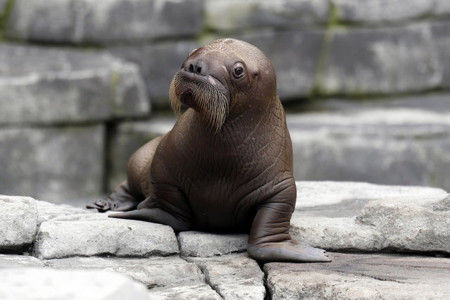 A newborn walrus calf looks out from its compound as it is presented to the public in Hamburg July 2, 2014. The newborn nameless calf was born June 15 in the Hagenbeck Zoo in the northern German city of Hamburg. It is the first and only walrus ever born in Germany. (Photo by Morris Mac Matzen/Reuters)