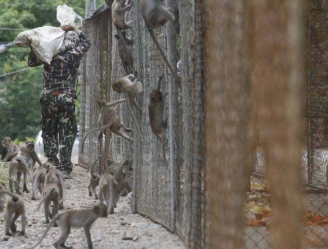 Thai National Park official carries food for monkeys who have been caught for sterilization in a bid to control the birth rate of the monkey population in Hua Hin city, Prachuap Khiri Khan Province, Thailand, 15 July 2017. (Photo by Narong Sangnak/EPA/EFE)