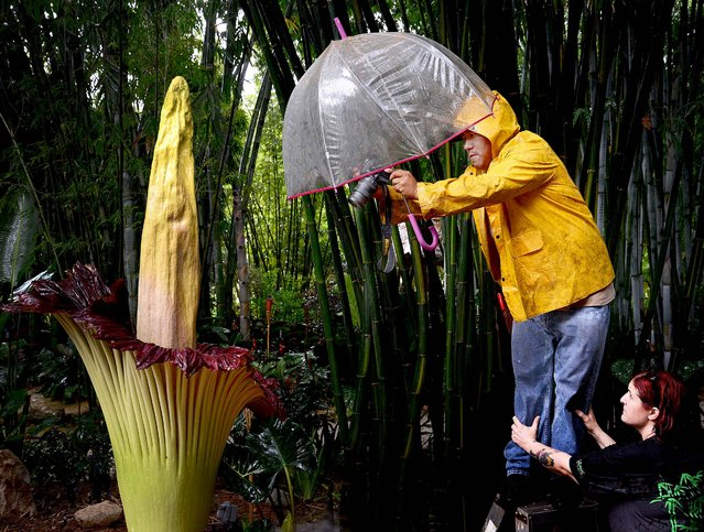 "Mateo Santiago, Field Manager at Tropical Bamboo Nursery and Gardens, photographs rain water collecting in the corpse flower as Garden Manager Melanie Benson steadies a ladder. Santiago crinkled his nose up distastefully when he described its odor, which was at its worse Sunday night. ""It smelled like a dead rat"". (Photo by Melanie Bell/Palm Beach Daily News)"