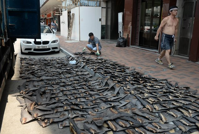 A worker (C) lays out shark fins to dry on a road in Hong Kong on July 31, 2014. Hong Kong and China are two of the world's biggest markets for shark fins where it is commonly served as a soup at wedding banquets and corporate parties, but conservationists say booming demand for fins has put pressure on the world's shark populations prompting calls for measures to restrict their trade. (Photo by Dale de la Rey/AFP Photo)