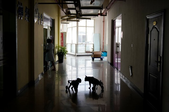 Dogs walk with attached wheelchairs at the Shanghai Traditional Chinese Medicine Neurology and Acupuncture Animal Health Center in Shanghai, China on August 21, 2017. (Photo by Aly Song/Reuters)