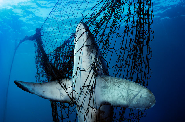 In a new project, an international group of photographers have joined forces to use their powerful images to raise awareness and funds to help stop the illegal wildlife trade. Here: A thresher shark caught in a gillnet in Mexico's Sea of Cortez. Tens of millions of sharks die each year as victims of fishing by-catch or to satisfy the demand for shark fin soup. (Photo by Brian Skerry/Photographers Against Wildlife Crime/Wildscreen/The Guardian)