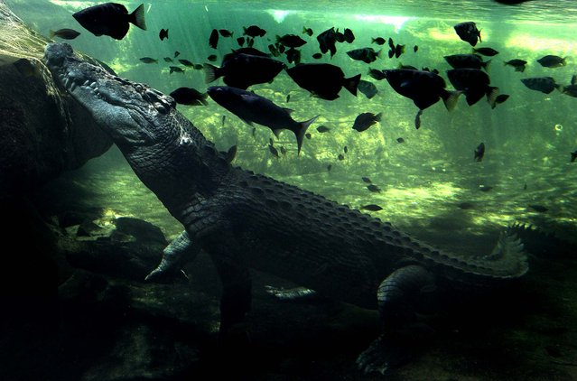A 700kg crocodile called Rex calmly waits beneath the water to be fed after coming out of a three-month hibernation at the WILD LIFE zoo in Sydney, Australia, on October 3, 2012. (Photo by Rob Griffith/Associated Press)