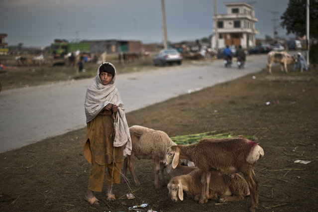 An Afghan refugee stands next to sheep that he and his father haven't been able to sell, on the Muslim holiday of Eid al-Adha, or Feast of Sacrifice, on the outskirts of Islamabad, Pakistan, Monday, October 6, 2014. (Photo by Muhammed Muheisen/AP Photo)