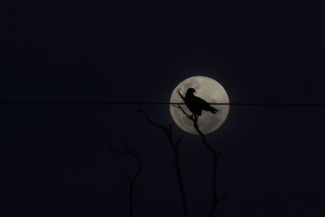 A bird perches on a tree in front of the full moon in the Yawalapiti village in Xingu National Park, Mato Grosso State, May 5, 2012. The Yawalapiti, one of the 14 tribes living in the Xingu Park, are preparing to hold in August a new quarup to honor one of their late caciques as well as Darcy Ribeiro, a late Brazilian author, anthropologist and politician. (Photo by Ueslei Marcelino/Reuters)