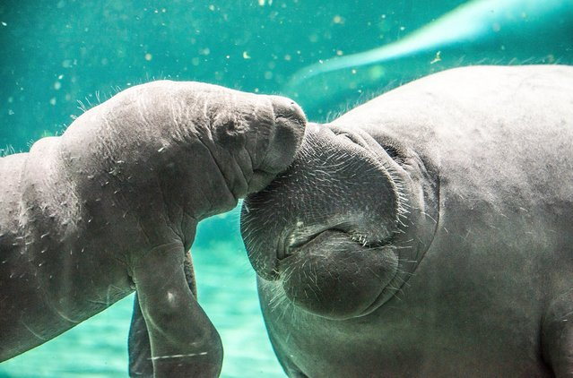 A baby manatee swims near its mother in one of the very first public appearances on October 1, 2015 in Genoa, Italy. The baby manatee is the only one in Italy and there are only 10 zoos in Europe with these herbivorous marine mammals. (Photo by Awakening/Getty Images)