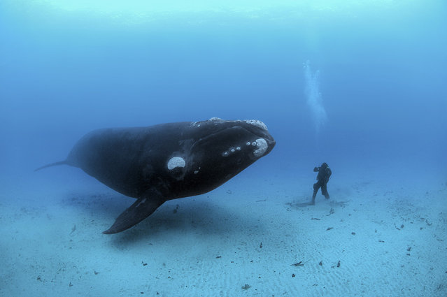 Curious creatures meet 70 feet deep off the remote Auckland Islands, 300 miles south of New Zealand. In these unfished waters, Brian Skerry photographs a diver encountering a southern right whale that may have never seen a human before. (Photo by Brian Skerry
