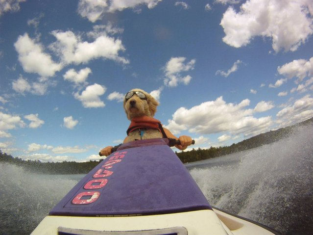 """Seadoo Doggy by Brian Lyle. Dexter,our Labradoodle, loves the Seadoo. The goggles and PFD came naturally. No he isn't driving it, yet"". (Photo by Brian Lyle)"