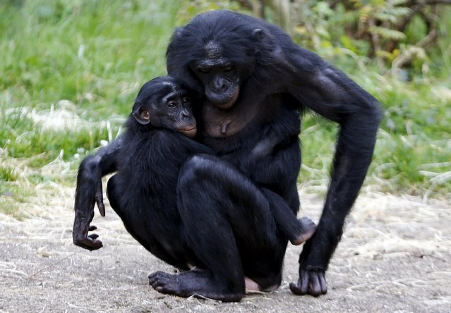 A young bonobo ape grabs onto its mother at Planckendael's zoo near Mechelen, Belgium, October 10, 2015. (Photo by Francois Lenoir/Reuters)
