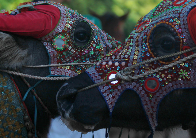 Buffalos wear colored masks during the Pchum Ben festival, in Vihear Sour village in Kandal province, Cambodia, October 1, 2016. (Photo by Samrang Pring/Reuters)