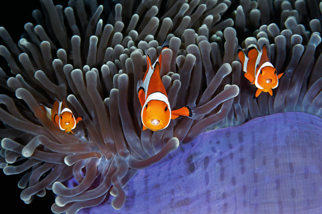 "The insiders by Qing Lin. ""Peeping out of the tentacles of a magnificent sea anemone, off North Sulawesi, Indonesia, are clown anemone fish. They live within the confines of the anemone, immune to its stings, thanks in part to a thick covering of mucus. The social arrangement is such that, not only does their host protect them, but they feed on debris among the tentacles and may even snack on a tentacle. In return, they eat parasites, may drive off harmful fish and aerate the water with their fins; it could even be that they attract fish which the anemone stings and eats"". (Photo by Qing Lin/Unforgettable Underwater Photography/NHM)"