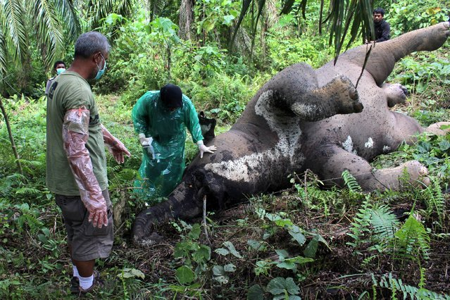 Aceh Natural Resources Conservation Centre (BKSDA) take a sample from a Sumatran Elephant carcass which died after coming into contact with a high voltage electric cable in a palm plantation area in Seumanah Jaya Village, Aceh, Indonesia 12 November 2015. The number of Human and wild Elephant conflicts have increase in Aceh recently caused by the massive illegal logging and the opening of the new oil plantation in Sumatera Island. (Photo by EPA/Maulana)