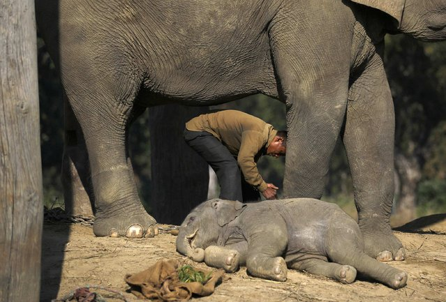 A one and a half months old baby elephant sleeps near its mother as a mahout unties the mother before leaving for the jungle at Chitwan National Park in Chitwan, south of Kathmandu December 30, 2014. (Photo by Navesh Chitrakar/Reuters)