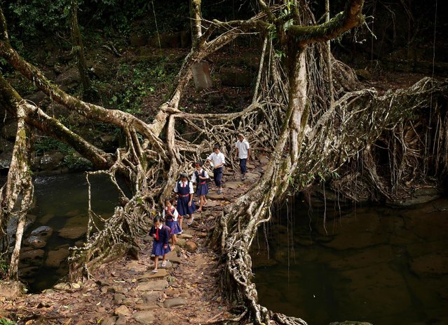 In the forests of north-eastern India, rivers and streams are crossed using structures crafted from ancient banyan trees. Forged by tangled roots and vines, these living tree bridges are both a natural wonder and an engineering masterclass. Cherrapunji is one of the world's wettest places, so normal wooden structures would rot and break. (Photo by  Amos Chapple/Rex Features)