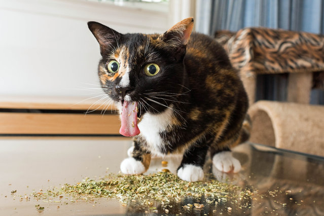 "Andrew Marttila, who used to be allergic to cats, said: ""Whenever I'd give him (his roommate's cat) catnip, he'd pull the most amazing faces – I loved capturing them on camera"". (Photo by Andrew Marttila/Caters News Agency)"