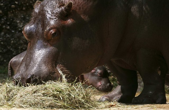 A two-day old unnamed hippopotamus stands behind its 22-year old mother Helvetia at an enclosure at the Zoo in Basel July 19, 2013. (Photo by Arnd Wiegmann/Reuters)