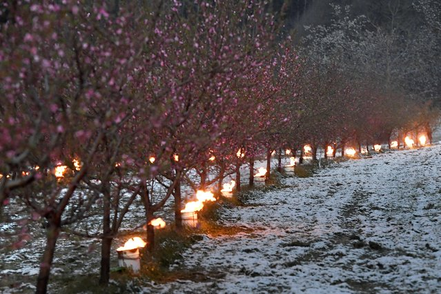 Anti-frost candles burn to protect trees from frost in an orchard as temperatures are expected to fall bellow zero degrees celsius in the next few days in Westhoffen, eastern France, on April 6, 2021. (Photo by Frederick Florin/AFP Photo)