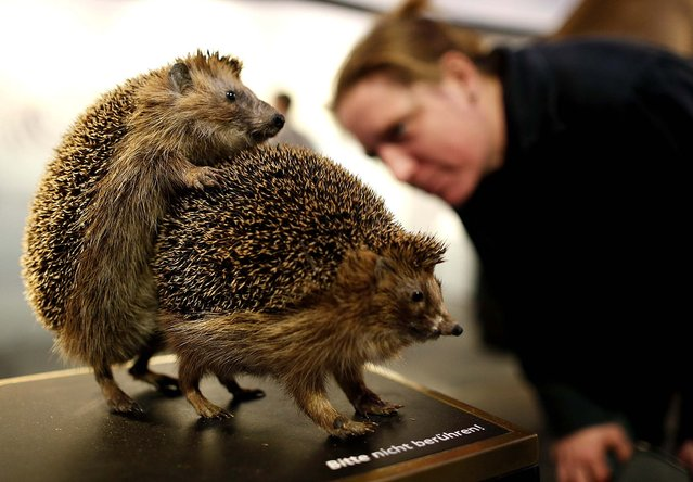 """A visitor looks at stuffed copulating hedgehogs displayed at the exhibition """"s*x and Evolution"""" at the Natural History Museum in Muenster, Germany, on Oktober 17, 2013. The exhibition, which features animals mating and examines how s*x in the plant and animal kingdoms plays the main role in evolution. (Photo by Ina Fassbender/Reuters)"""