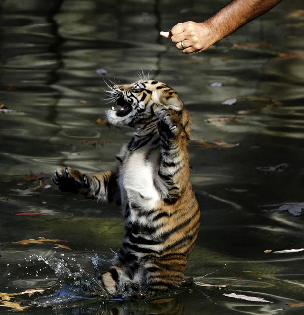 Bandar was one of two cubs born August 5 who were tested to make sure they have the ability to keep their heads above water, navigate the shallow end of the moat, and possess the strength and ability to climb onto dry land. (Photo by Gary Cameron/Reuters)