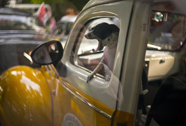 A dog yawns in the cab of a classic 1938 Ford, currently being used as a taxi, as it sits parked before the XIV rally of antique cars in Havana, Cuba, November 4, 2018. (Photo by Ramon Espinosa/AP Photo)