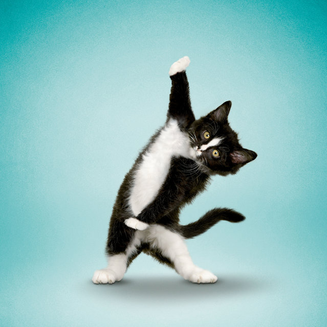 This photo series shows curvy canines and flexible felines participating in a spot of yoga. The shots feature the animals in the likes of the lotus position, balancing on two legs, and stretching in ways that would make the greatest of yoga masters proud. Photographer Dan Borris came up with the idea for the series in 2000, when he was asked by a friend to photograph her in a yoga pose while her dog bothered her. Pictured: Tuxi. (Photo by Dan Borris/Caters News)