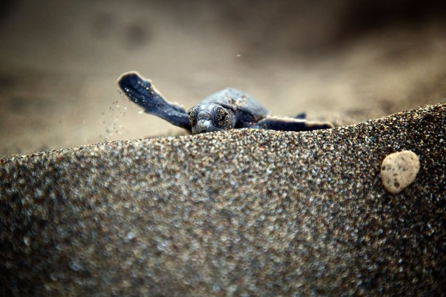 A newly hatched turtle makes its way to the sea at Davultepe coast in Mersin, Turkey on August 11, 2021. First hatching of loggerhead turtles (Caretta Caretta) and Green sea turtles (Chelonia mydas) began on the Davultepe coast. (Photo by Mustafa Unal Uysal/Anadolu Agency via Getty Images)