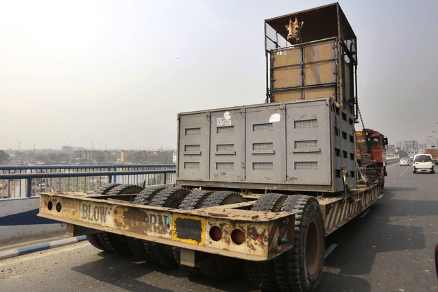 A four-year-old giraffe looks out from its cage while being transported on a truck in Kolkata, India, Tuesday, February 23, 2016. The giraffe from Kolkata's Alipore zoo is being sent to Nandankanan, the zoological park in Bhubaneswar, in an exchange of four tigers both male and female for breeding purpose, according to news reports. (Photo by Bikas Das/AP Photo)