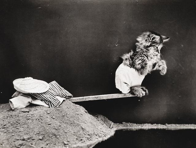 Photograph shows a kitten wearing a bathing suit standing on a diving board, 1914. (Photo by Harry Whittier Frees/Library of Congress)