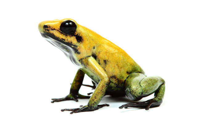 Black Legged Dart Frog (Phyllobates Bicolor). (Photo by Mickael Leger/Caters News)