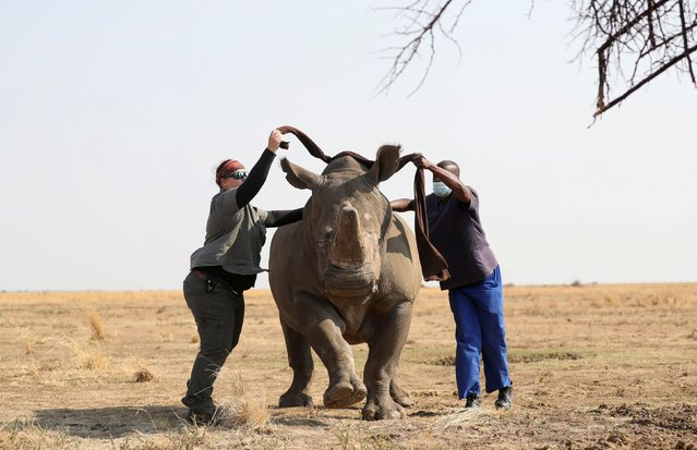 Vet Dr Michelle Otto and her assistant Patrick blindfold a tranquillised rhino before dehorning it at the Buffalo Dream Ranch, the biggest private rhino sanctuary on the continent, in South Africa's North West Province, September 6, 2021. (Photo by Siphiwe Sibeko/Reuters)