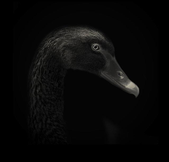 Black swan. (Photo by Alex Teuscher/BNPS)