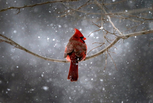 A Northern Cardinal sits on a tree branch in falling snow in the New York City suburb of Nyack, New York, on January 21, 2014. (Photo by Mike Segar/Reuters)