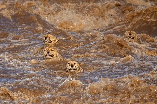 """Wildlife first place: Buddhilini de Soyza, Australia. Incessant rains in the Masai Mara national reserve in Kenya have caused the the Talek river to flood. This group of five male cheetahs, who received the nickname """"Tano Bora"""" ( the fast five), were looking to cross this river in terrifyingly powerful currents. """"It seemed a task doomed to failure and we were delighted when they made it to the other side"""", De Soyza said. """"This was a timely reminder of the damage wreaked by human induced climate change"""". (Photo by Buddhilini de Soyza/TNC Photo Contest 2021)"""
