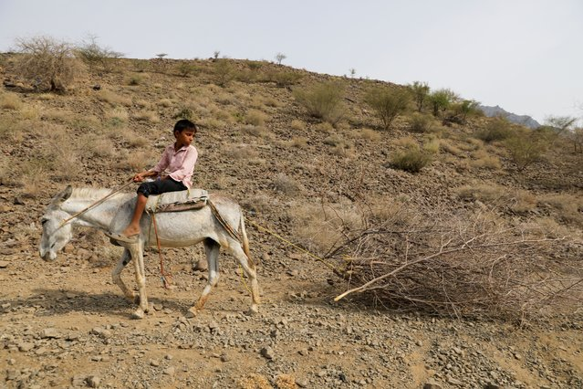 A boy who works as a lumberjack, rides a donkey as it drags a logged tree in Bajil district of Hodeida province, Yemen, June 24, 2021. (Photo by Khaled Abdullah/Reuters)