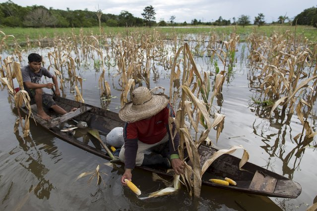 Brazilian farmer Jander Santos de Souza (R) checks his corn plantation which is inundated with floodwaters from the Solimoes River, in the rural municipality of Manacapuru, Amazonas state May 5, 2015. (Photo by Bruno Kelly/Reuters)